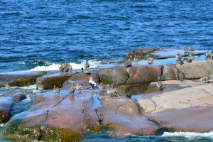 Enten an der finnischen Küste